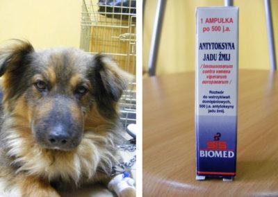 Po-podaniu-antytoksyny-pies-poczuł-się-znacznie-lepiej-i-wrócił-szybko-do-zdrowia